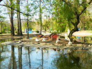 Lebedele au casuta in Parcul Carol